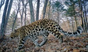 Amur-LeopardPhoto_4
